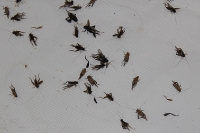 Crickets that swarmed our boat
